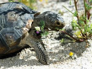Desert Tortoise Eating Flowers by Jeff Foott
