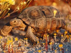 Desert Tortoise Moves Slow by Jeff Foott