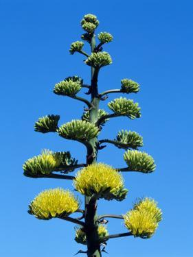 Detail of Coastal Agave (Agave Shawii) in Bloom, Baja California, Mexico by Jeff Foott