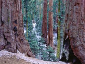 Detail of Standing Sierra Trees and Giant Sequoia by Jeff Foott
