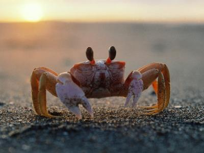 Fiddler Crab Sits on Beach by Jeff Foott