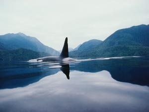 Full Length Detail of a Killer Whale in Water with Mountains in the Background by Jeff Foott