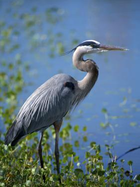 Great Blue Heron (Ardea Herodias) Standing at Water's Edge, Florida, Usa by Jeff Foott