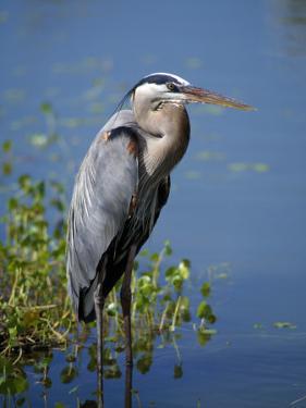 Great Blue Heron Portrait, Florida, Usa by Jeff Foott