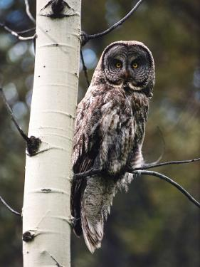 Great Grey Owl Perched in an Aspen Tree in the Daylight by Jeff Foott