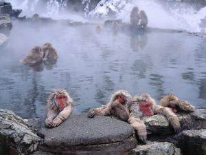 Group of Japanese Snow Monkeys Relaxes around Hot Pool by Jeff Foott