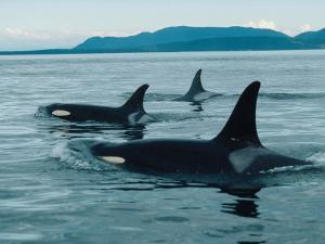 Group of Killer Whales Swim on Surface of Ocean with Mountains in the Background by Jeff Foott