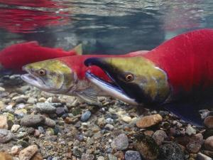 Male and Female Sockeye Salmon Swim in Shallow Water by Jeff Foott
