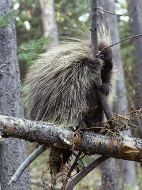 North American Porcupine (Erethizon Dorsatum) on Tree Branch, Wyoming, Usa by Jeff Foott