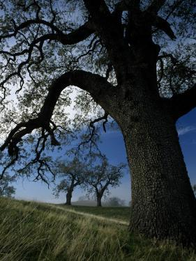 Oak Trees on a Hill, Mount Diablo State Park, California, Usa by Jeff Foott