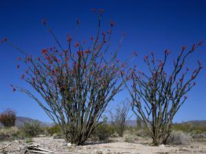 Ocotillo Cacti (Fouquieria Splendens) Flowering Against Vibrant Blue Sky, Joshua Tree by Jeff Foott