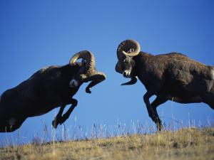Rams Display Traditional Mating Season Behavior by Butting Heads by Jeff Foott