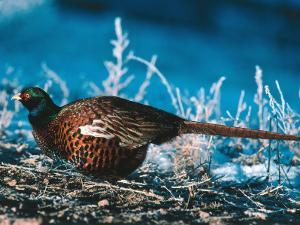 Ringed-Neck Pheasant Crouches over Ground Cover in Snow by Jeff Foott