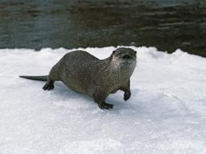 River Otter Walks on Snow by Jeff Foott