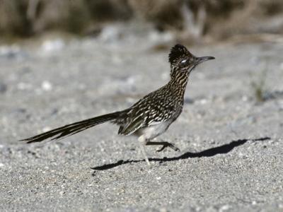 Road Runner (Geococcyx Californianus), Southwest, Usa