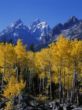 Rows of Aspen Trees Stand Among Boulders in Front of Cathedral Group Mountains During Fall by Jeff Foott