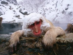 Snow Monkey/Japanese Macaque Soaks in Hot Springs and Leans on a Rock Ledge by Jeff Foott