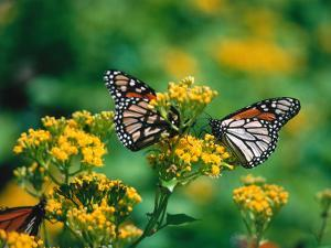Two Monarch Butterflies Perched on a Yellow Flower by Jeff Foott
