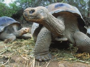 Galapagos Giant Tortoises, Ecuador by Jeff Greenberg