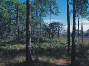 Gulf Coast Pine Flatwoods by Jeff Greenberg