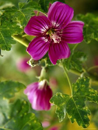 Northern Island Tree Mallow in Bloom, CA by Jeff Greenberg