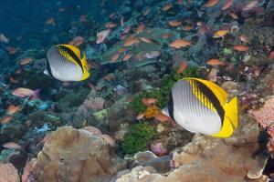 A Pair of Colorful Butterflyfish on a Coral Reef by Jeff Hunter