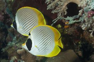 A Pair of Panda Butterflyfish by Jeff Hunter