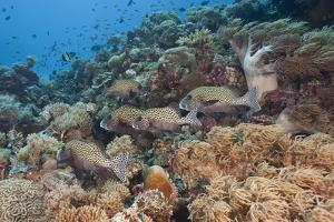 A School of Sweetlips Fish on a Coral Reef by Jeff Hunter