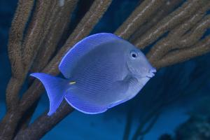 Blue Tang (Fish) Swimming on Tropical Coral Reef by Jeff Hunter