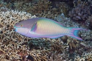 Colorful Parrotfish on a Tropical Coral Reef by Jeff Hunter