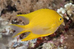 Golden Damsel Fish on a Tropical Coral Reef by Jeff Hunter