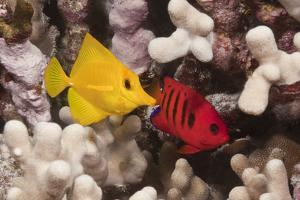 Pair of Colorful Tropical Fish on Coral Reef by Jeff Hunter
