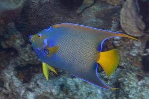 Queen Angelfish on Tropical Coral Reef by Jeff Hunter