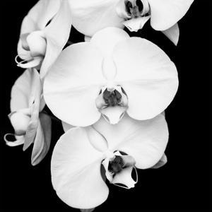 Orchid Portrait I by Jeff Maihara