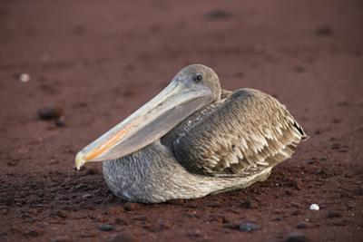 A Brown Pelican, Pelecanus Occidentalis, Rests on the Red Sand Beach of Rabida Island by Jeff Mauritzen