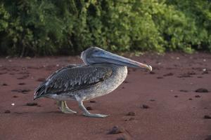 A Brown Pelican, Pelecanus Occidentalis, Walks Along the Red Sand Beach of Rabida Island by Jeff Mauritzen