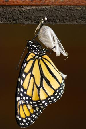 A Butterfly That Just Underwent Metamorphosis by Jeff Mauritzen
