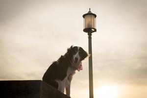 A Dog, Canis Lupus Familiaris, Wearing a Pink Bandana at Sunset Next to Streetlight by Jeff Mauritzen