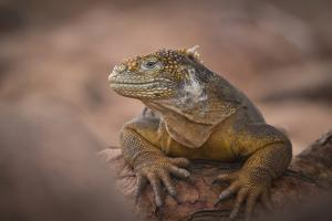 A Galapagos Land Iguana Next to a Prickly Pear Cactus on North Seymour Island by Jeff Mauritzen