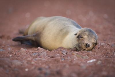 A Galapagos Sea Lion, Zalophus Wollebaeki, Sleeping on a Red Sand Beach on Rabida Island by Jeff Mauritzen