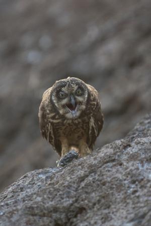 A Galapagos Short-Eared Owl, Asio Flammeus, Regurgitates an Owl Pellet on Genovesa Island by Jeff Mauritzen