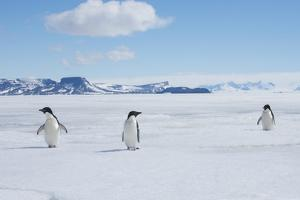 A Group of Adelie Penguins Walk Along the Sea Ice Off the Antarctic Peninsula by Jeff Mauritzen
