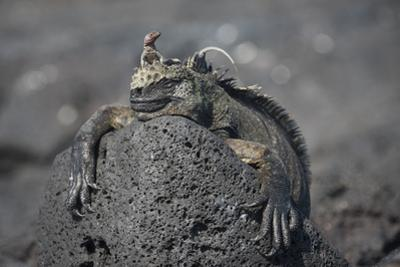 A Lava Lizard Rests on Top of a Marine Iguana on Fernandina Island by Jeff Mauritzen
