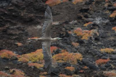 A Red-Footed Booby in Flight over Red Sesuvium at Punta Pitt, San Cristobal Island by Jeff Mauritzen