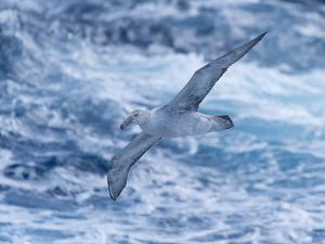 A Southern Giant Petrel, Macronectes Giganteus, Flies over the Ocean in the Drake Passage by Jeff Mauritzen