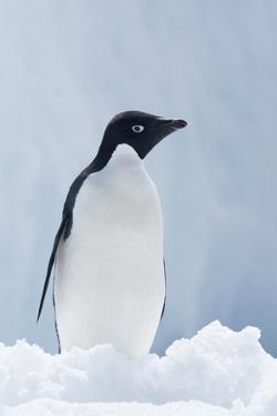An Adelie Penguin, Pygoscelis Adeliae, Standing on Sea Ice in Antarctic Sound by Jeff Mauritzen