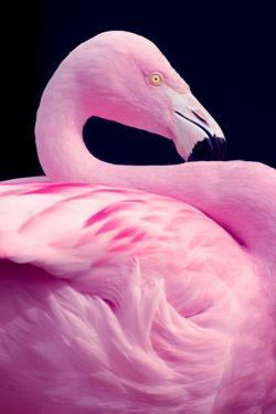 Chilean Flamingo Portrait by Jeff McGraw
