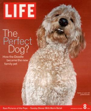 Sadie, 1 Year Old Goldendoodle, October 8, 2004 by Jeff Minton