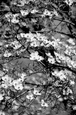 Dogwood Branch 2 by Jeff Pica