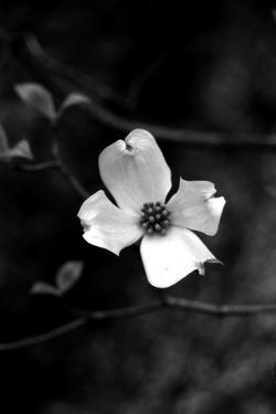 Dogwood by Jeff Pica